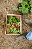 Freshly picked radishes in a wooden box
