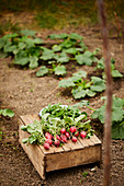Freshly picked radishes on a wooden crate in a vegetable patch