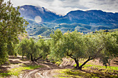 An olive grove, Subbética National Park, Andalusia, Spain