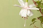 Fuchsia 'Happy Wedding Day' flower