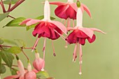 Fuchsia 'Paula Jane' flowers