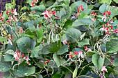 Dwarf runner bean (Phaseolus vulgaris 'Hestia')