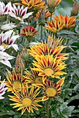Gazania 'Tiger Stripe Mix'