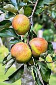Apple (Malus domestica 'Ribston Pippin') in fruit