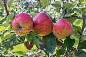 Apple (Malus domestica 'Jupiter') in fruit
