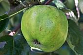 Apple (Malus domestica 'Yorkshire Greening') in fruit