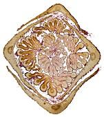Ash (Fraxinus excelsior) leaf bud, light micrograph