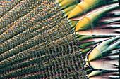 Vitamin C, polarised light micrograph