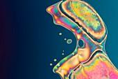 Liquid crystal, polarised light micrograph