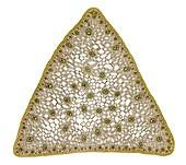 Sedge (Carex sp.) stem, light micrograph