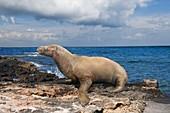 Allodesmus extinct seal, illustration