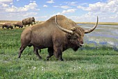 Extinct bison, illustration
