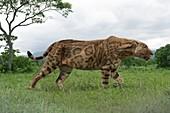Sabre-toothed cat, illustration