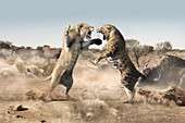 Cave lion and sabre-tooth cat fighting, illustration