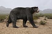 Arctotherium extinct short-faced bear, illustration