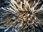 Lamellibrachia tube worms at a deep sea vent