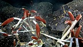 Giant tube worms at a hydrothermal vent
