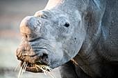 Dehorned white rhino