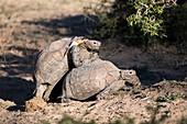 Mating leopard tortoises
