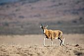 Blesbok running on a mountain ridge