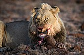 Male lion with black wildebeest calf