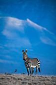 Cape mountain zebra stallion