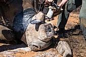 White rhino dehorning
