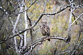 Spotted eagle owl perched in a dead tree