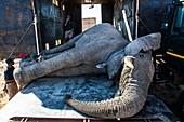 African elephant bull translocation