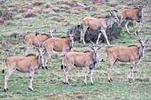Eland herd