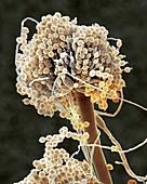Aspergillus fungus conidiophores, SEM