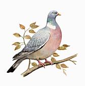 Wood pigeon, illustration