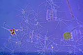 Diatoms, light micrograph