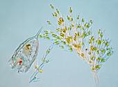 Colonial algae and rotifer, polarised light micrograph