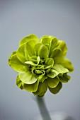 Greenhouse carnation (Dianthus 'Eaton') flower