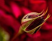Rose (Rosa 'Vogue') flower bud