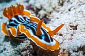 Magnificent nudibranch