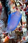 Blue club sea squirt