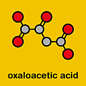 Oxaloacetic acid metabolic intermediate molecule