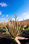 Aloe vera field