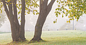 Tree in a meadow on a foggy morning