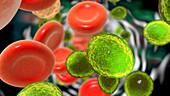 Candida auris fungi in bloodstream, illustration