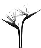 Two bird of paradise flowers (Strelitzia sp.), X-ray