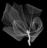 Horse chestnut leaves (Aesculus hippocastanum), X-ray