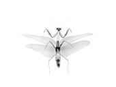 Preying mantis, X-ray