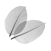 Rubber plant leaves, X-ray