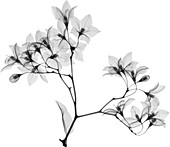 Aubergine (Solanium sp.), X-ray