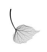 Begonia leaf, X-ray
