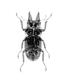 Beetle, X-ray