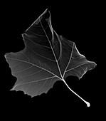 Maple leaf, X-ray